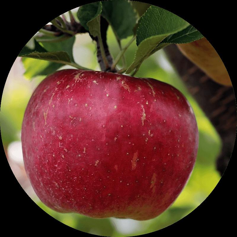 Pączek z jabłkiem